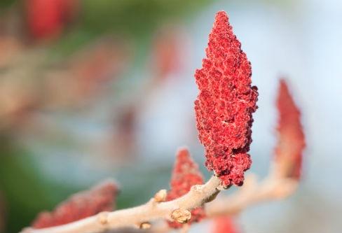 rote-Fruechte-des-Sumach-Baumes